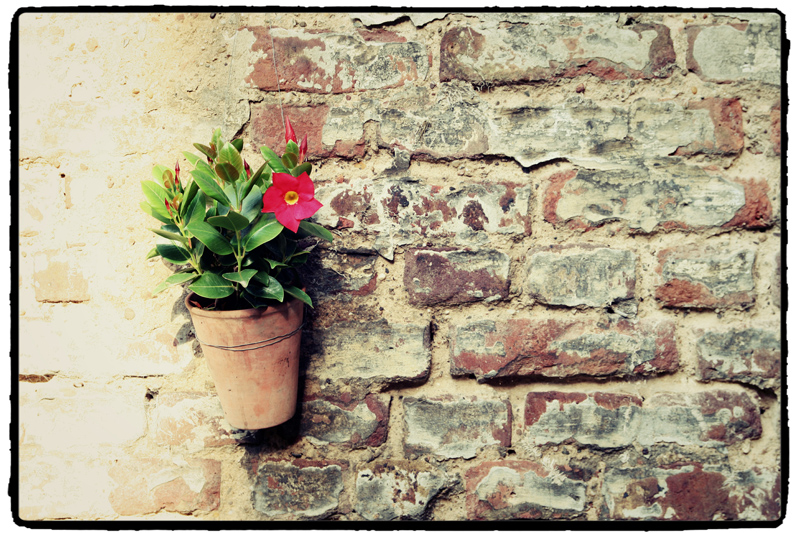 beautiful flower dipladenia
